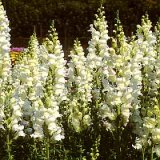 Antirrhinum majus Royal Bride Photo