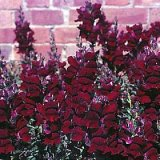 Antirrhinum nanum Black Prince Photo
