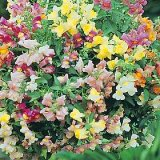 Antirrhinum pendula multiflora Chinese Lanterns F1 Photo