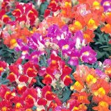 Antirrhinum Kim Bicolour Varié Photo