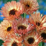 Calendula officinalis Sherbert Fizz Photo