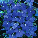 Lobelia erinus 'Blue Wings' Photo