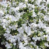 Lobelia erinus compacta 'Paper Moon' Photo