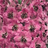 Delphinium 'Dusky Maiden' Photo