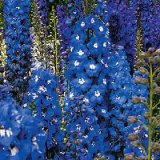 Delphinium 'Blue Heaven' Photo