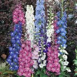 Delphinium 'New Zealand' Varié Photo