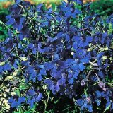 Delphinium 'Gentian Blue' Photo