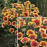 Gaillardia aristata 'Goblin' Photo
