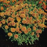 Gaillardia pulchella 'Sundance' Photo