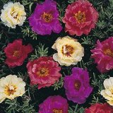 Portulaca grandiflora 'Kariba' Photo