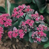 Sedum ussuriense Photo