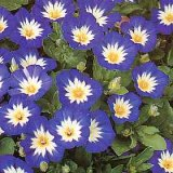 Convolvulus tricolor 'Ensign Series Blue' Photo