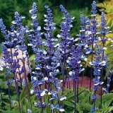 Salvia farinacea 'Fairy Queen' Photo