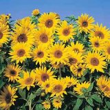 Helianthus annuus 'Dwarf Yellow Spray' Photo
