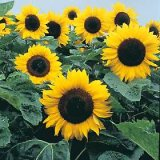 Helianthus annuus 'Elite Sun' F1 Photo