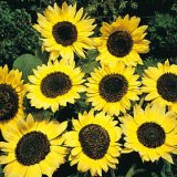 Helianthus annuus 'Lemon Queen' Photo