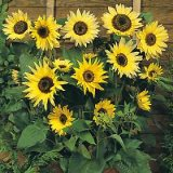 Helianthus annuus 'Moonwalker' Photo