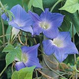 Ipomoea hirsuta 'Mini Sky-Blue' Photo