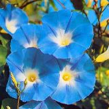 Ipomoea purpurea 'Heavenly Blue' Photo