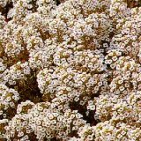 Alyssum maritima procumbens 'Carpet Of Snow' Photo