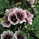 Malva sylvestris 'Zebrina' Photo