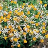 Nemesia cheiranthus 'Shooting Stars' Photo