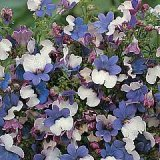 Nemesia strumosa 'KLM' Photo