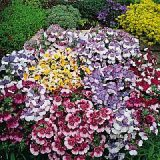 Nemesia strumosa 'Paintbox' Photo