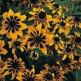 Rudbeckia hirta 'Kelvedon Star' Photo