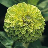 Zinnia elegans 'Envy' double Photo