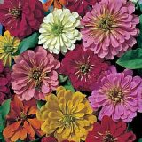 Zinnia elegans 'Magellan' Mixed F1 Hybrid Photo