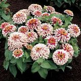 Zinnia elegans 'Swizzle' Cherry & Ivory Photo