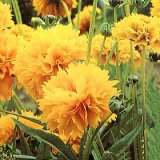 Coreopsis grandiflora 'Early Sunrise' Photo