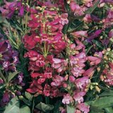 Penstemon barbatus 'Cambridge' Mixture Photo