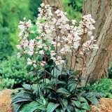 Penstemon digitalis Husker Red Photo