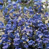 Penstemon 'True Blue' Photo