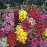 Antirrhinum Double Madame Butterfly en mélange F1 Photo