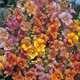 Antirrhinum Jamaican Mist Photo